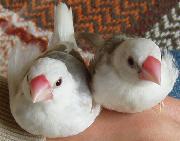 文鳥とホノホノ