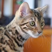 ベンガル猫なベンガログ