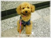 ♡ Teddy poodle C&M ♡ Style*