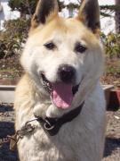 北海道のアイドル犬タカ