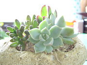モゼ多肉植物 ブログ