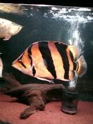 大型熱帯魚の飼育・研究の日々