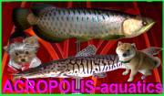 ACROPOLIS-aquatics