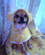 チワワ犬チャイのブログ『チワワ ハッピー ライフ』