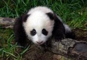 新・パンダは命の恩人です。