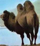 ラクダの歩む道