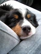うちの犬はバーニーズ