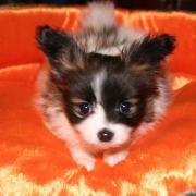 パピヨン子犬 Smile Line Cutie Puppies