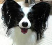 パピヨンの飼い方(犬との生活)