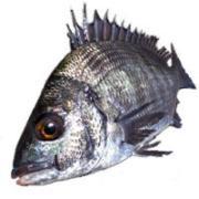 ちぬんちゅの黒鯛釣り