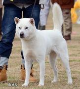 紀州犬しろちゃん2