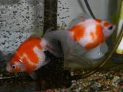 金魚は病気に弱いのですぅ(T^T)