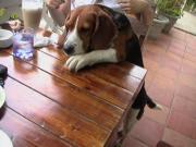 バイリンガル犬