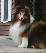 田舎の喫茶店 ハーブ&犬(シェルティー)との生活