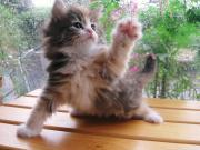 ノルウェージャンのボス猫カプチーノ君の日記