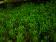 現代版ストロマトライト〜万年草の不思議な生命力