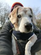 ビーグル犬生活 ブラウンスピード