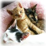 猫福<にゃんぷく> ふくちゃんの猫の里親募集ブログ