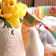 ハニカミ文鳥