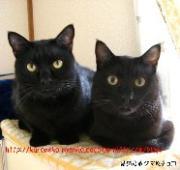黒猫兄弟  クマ&チョコ  Plus  柴犬 たっちゃん