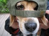 Beagleな日々