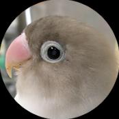 ボタンインコ ピーちゃんの成長記録