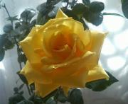 アメショとお花