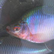 僕の雑魚道 specializes in タナゴ釣り