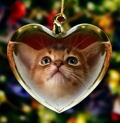 LOUP BLANC -Abyssinian Cattery-
