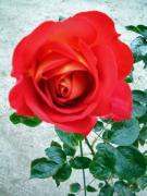 赤い薔薇(バラ)の花が好き