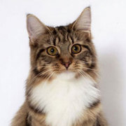Maine Coons Cattery - CERISIER PURR