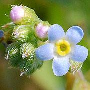 雑草写真館 -Wild Flowers of Saitama-