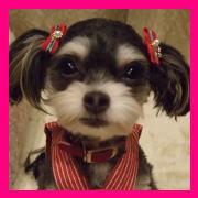MIX犬 チワプー Blog ラムですYO!