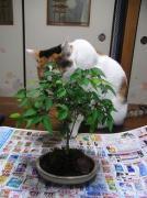 いつまで続くか私の盆栽ブログ+