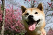 柴犬の蓮とsmileのwakuwaku日記
