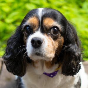 犬雑貨 O-Side 看板犬 キャバリア おはっぺ放浪記