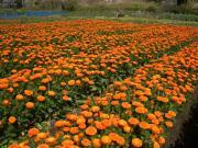 JA安房千歳花卉集出荷場