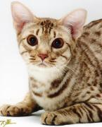 福を呼ぶネコ・オシキャットの子猫たち