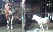 世界最小馬ファラベラ種 カリスのブログ