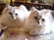 チンチラ猫販売・オーナー募集 JESUS HOUSE