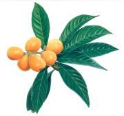 ビワの葉は凄ィっ!ってイタリア人に勧めてみる。