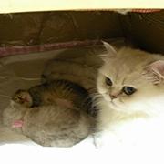 ペルシャ・チンチラシルバーの猫ミルキー&バニラ