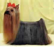 ヨークシャーテリア専門犬舎 LILY HILL M.Y.