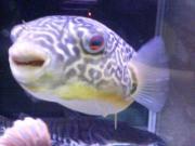 フグtoGlobefish