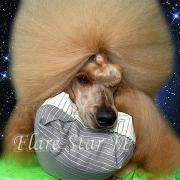 スタンダードプードル犬舎「Flare Star JP」