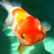 きらきら金魚