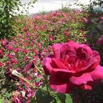 The Way Ikebana,Japanease Flower 〜池坊 ikenobo〜
