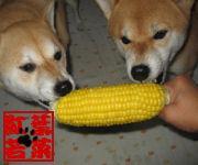 柴犬 紅葉と若菜