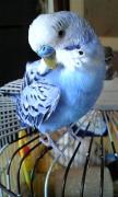 幸せの青い鳥 〜セキセイインコの飼い方〜
