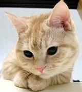 マンチカン☆☆チンチラ 猫! 2匹!